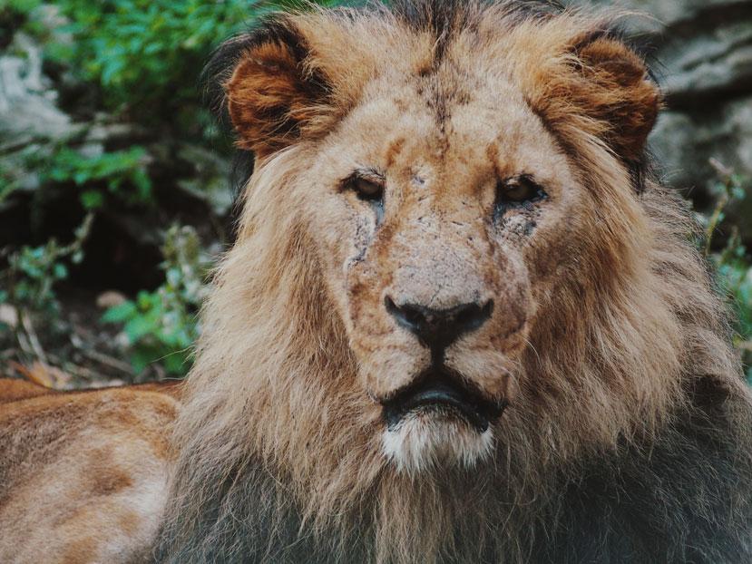 close-up of a lion's face