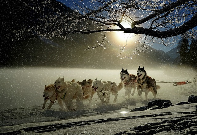 husky dogs pulling a sleigh