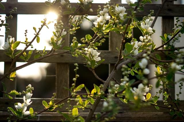 Flowers growing on trellis