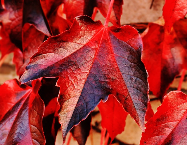 red leave changing color
